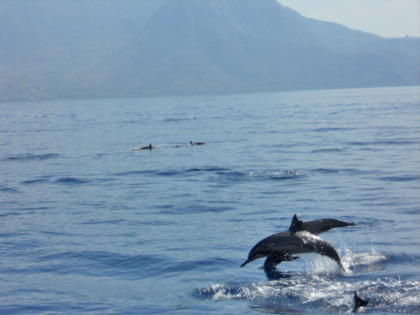 Dophins in Maumere Bay
